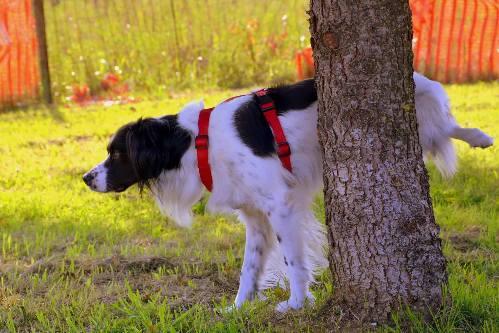 When Dogs Pee Blood: What Are Its Causes And Treatment?
