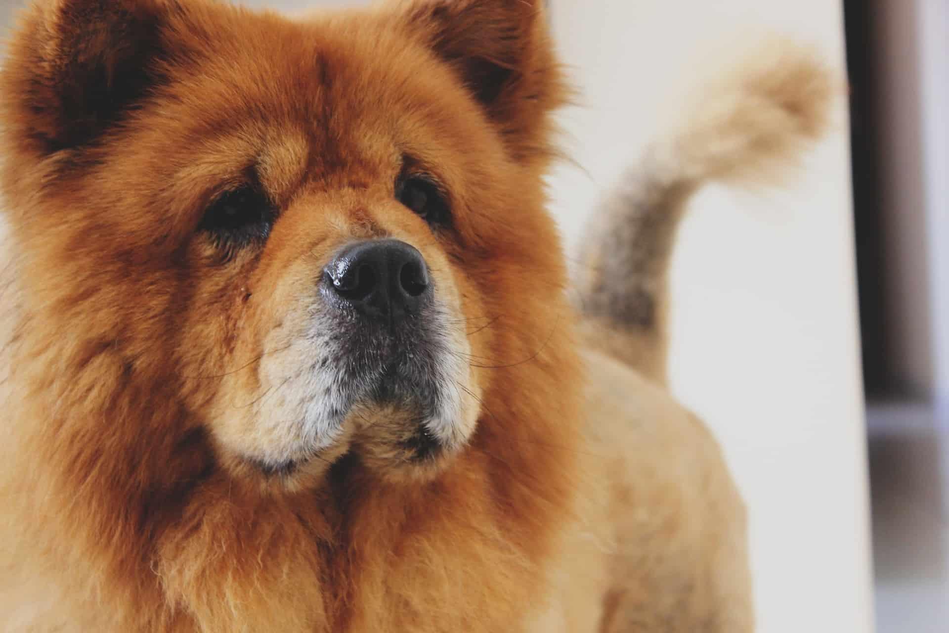dog that looks like a lion