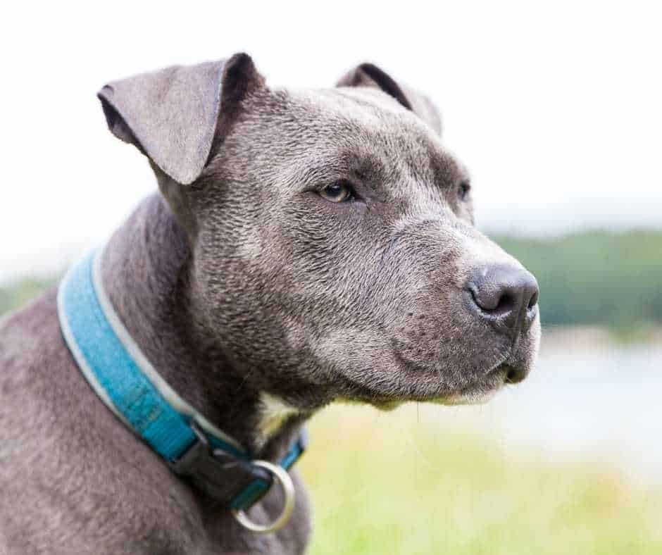 best collars for pitbulls