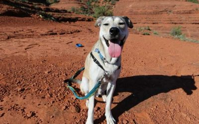 7 Best Dog Harnesses For Hiking: 2020 Buyer's Guide
