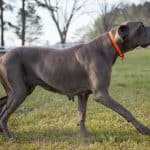 7 Best Great Dane Collars: 2020 Buyer's Guide
