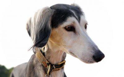 5 Best Greyhound Collars: 2020 Buyer's Guide