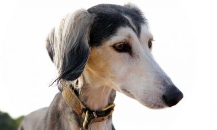5 Best Greyhound Collars: 2020 Buyer's Guide