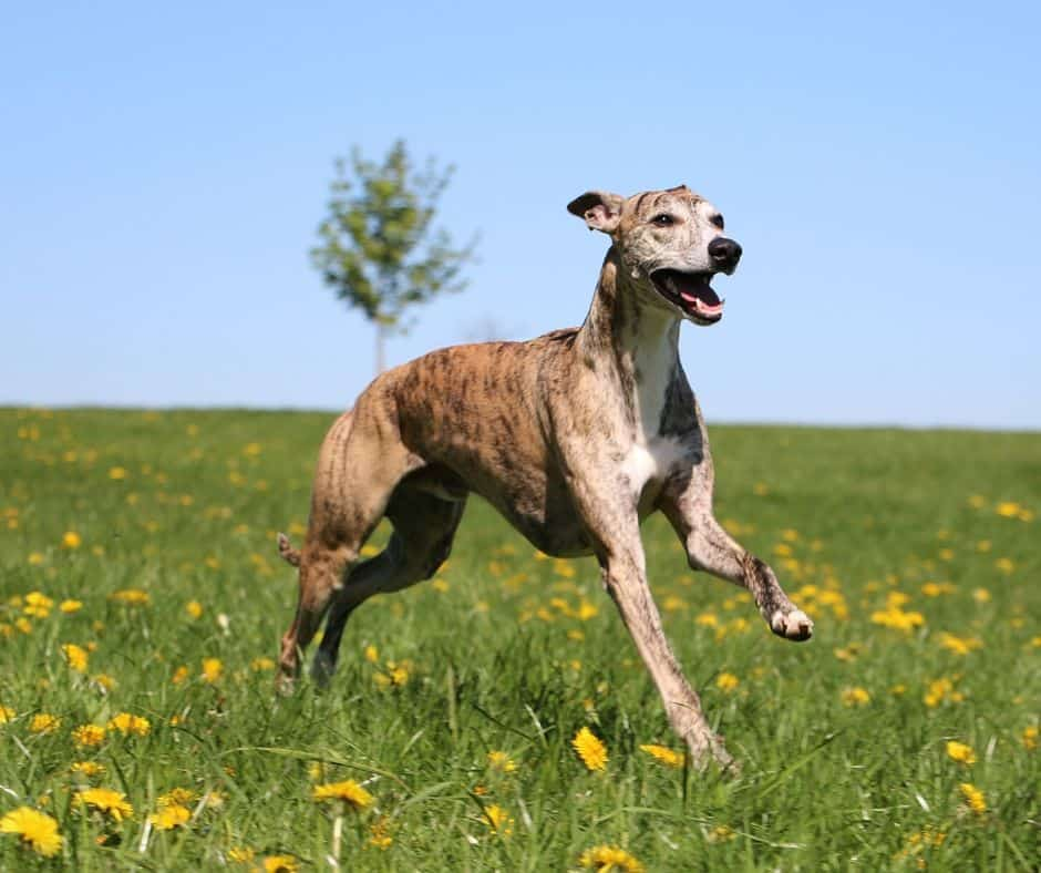 7 Best Harnesses For Greyhounds  2020 Buyer U0026 39 S Guide