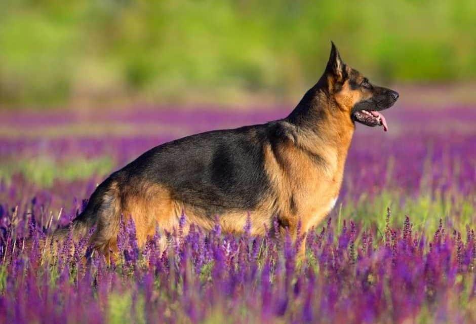 7 Best Harnesses For German Shepherds: 2020 Buyer's Guide