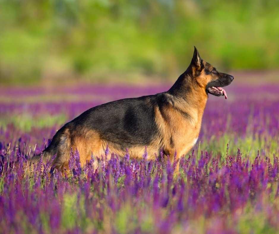 harness for german shepherds