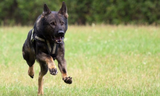 9 Best Tactical Dog Harnesses: 2020 Buyer's Guide