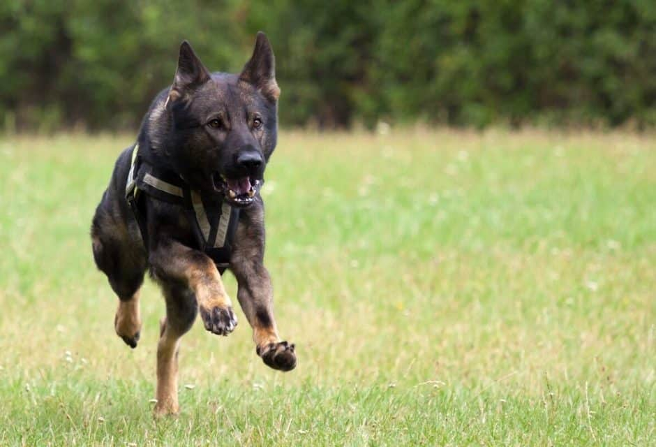 9 Best Tactical Dog Harnesses: 2021 Buyer's Guide