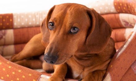 9 ‌Best‌ Dog Beds For Dachshunds:‌ ‌2021‌ Buyer's‌ ‌Guide‌