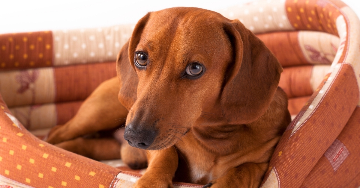9 ‌Best‌ Dog Beds For Dachshunds:‌ ‌2020‌ Buyer's‌ ‌Guide‌