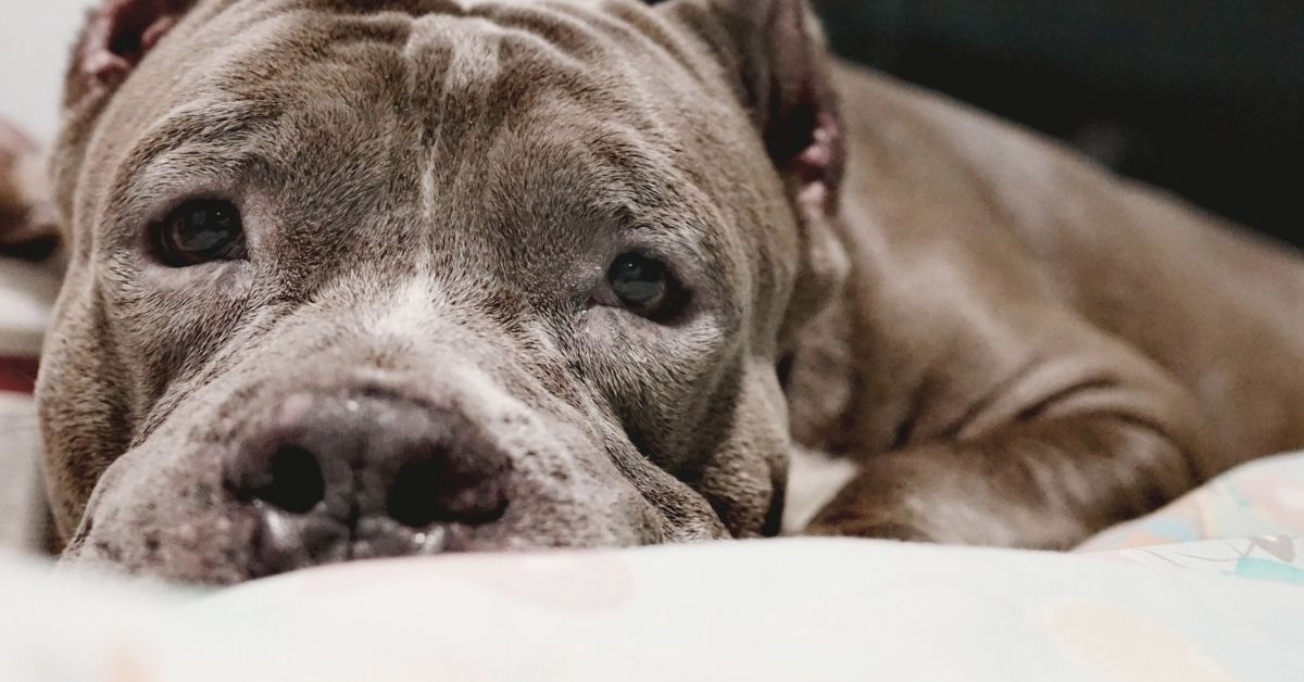 9 Best Dog Beds for Pitbulls (2021 Buying Guide)