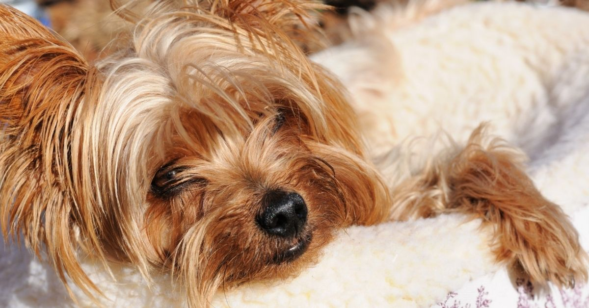 9‌ ‌Best‌ Dog Beds For Yorkies:‌ ‌2020‌ Buyer's‌ ‌Guide‌